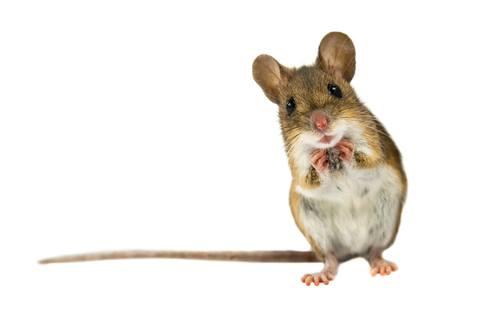 mice in orlando