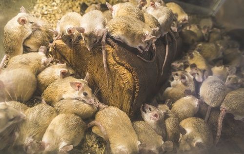 Orlando Rodents in Attic