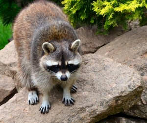 raccoon on rocks