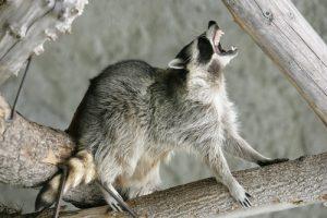 Orlando - Raccoons