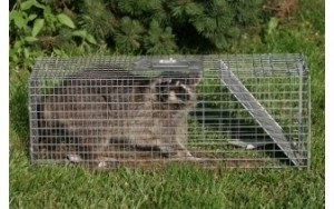Caged Raccoon