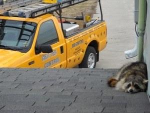 Orlando Raccoon on roof