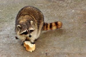Orlando Raccoon