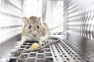 rat trap orlando