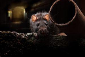 rat removal orlando