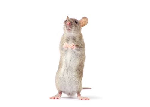 rat trapping orlando
