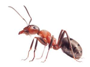 Orlando Ants