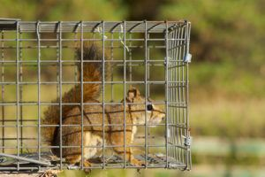 Squirrel trapt in cage