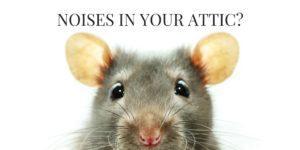 Orlando Rat
