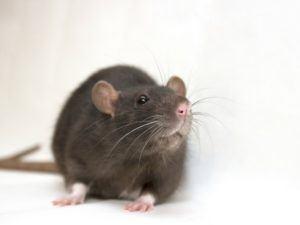 rat proofing home