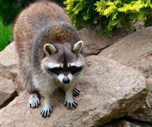 raccoon on rocks