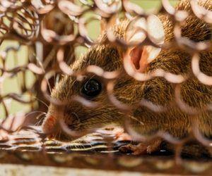 Rat in Cage