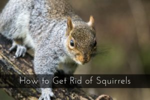 How To Get Rid Of Squirrels Critter Control Orlando