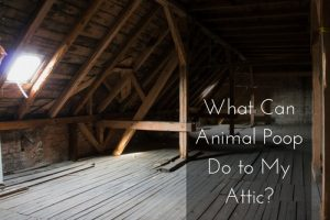 animal poop in attic