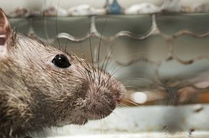 Rat Removal Kissimmee