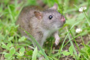 orlando rat in grass