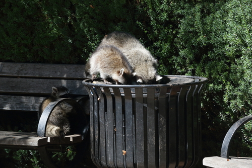 Cc Blog Orlando How To Keep Raccoons Out Of Trash Dec