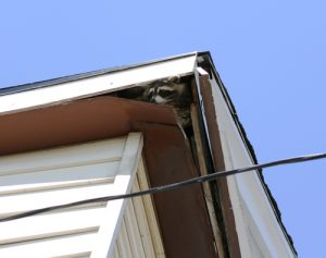 Raccoon In Roof
