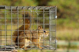 Orlando Squirrel Trap