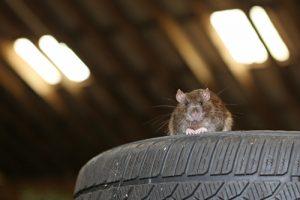 Rat on Tire