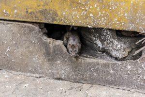 Rat in building