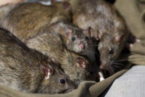 rats in the attic orlando