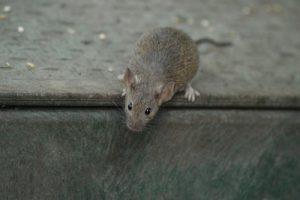 Mice Removal Orlando