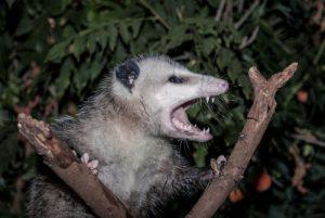 Possum Orlando