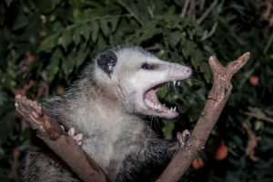 Orlando Possum