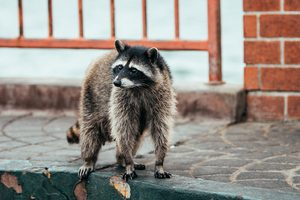 Orlando Raccoon