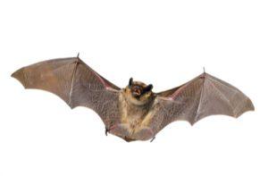 Orlando- Bat Extermination-