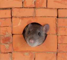 Orlando Rats