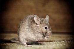 Orlando- Mice