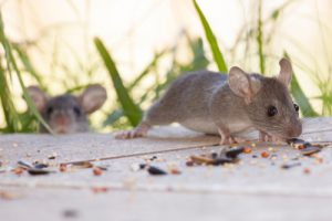 Tips to Help Keep Your Home and Yard Rodent Free   Critter