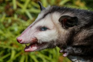 How to Tell if You Have a Rabid Opossum on Your Property ...