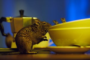 Rodents indoor during winter