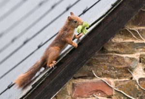 Squirrel nesting in your home