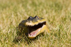 prevent alligators on your property.