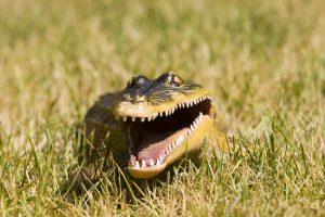 prevent alligators on your property.