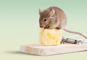 The effectiveness of mouse traps