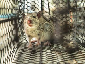 Humane Ways to Remove Rats