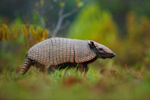Are Armadillos Considered Pests?