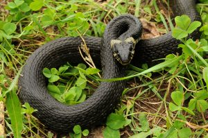 Do Snakes Indicate a Rodent Infestation?