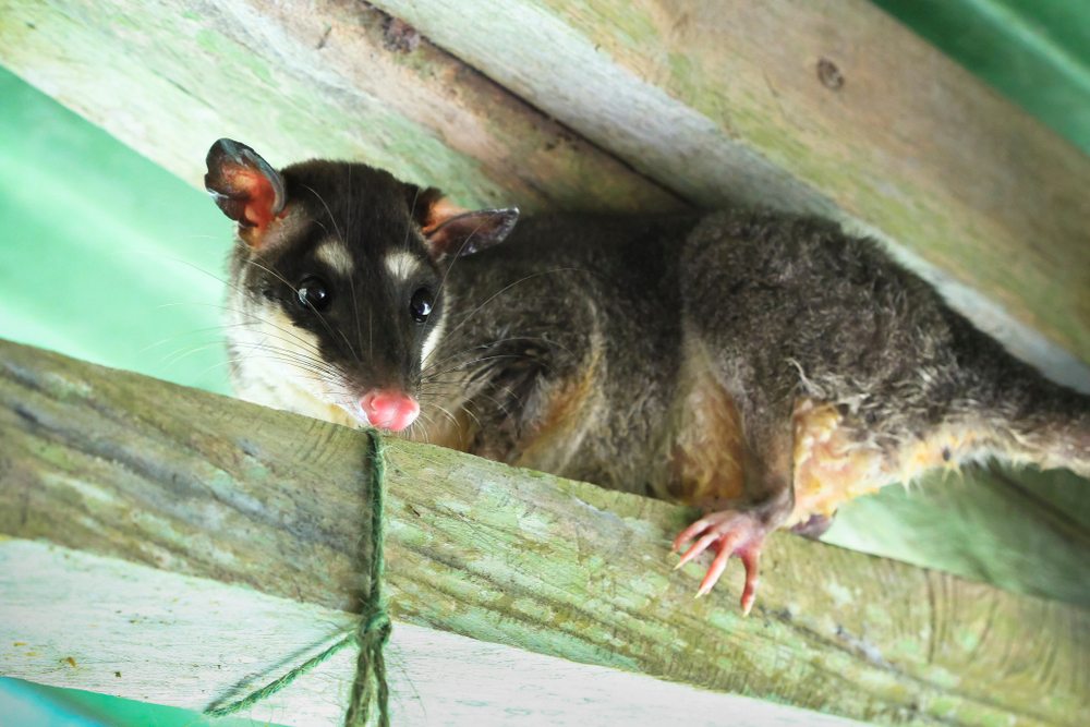 How to Remove Opossums from Your Property