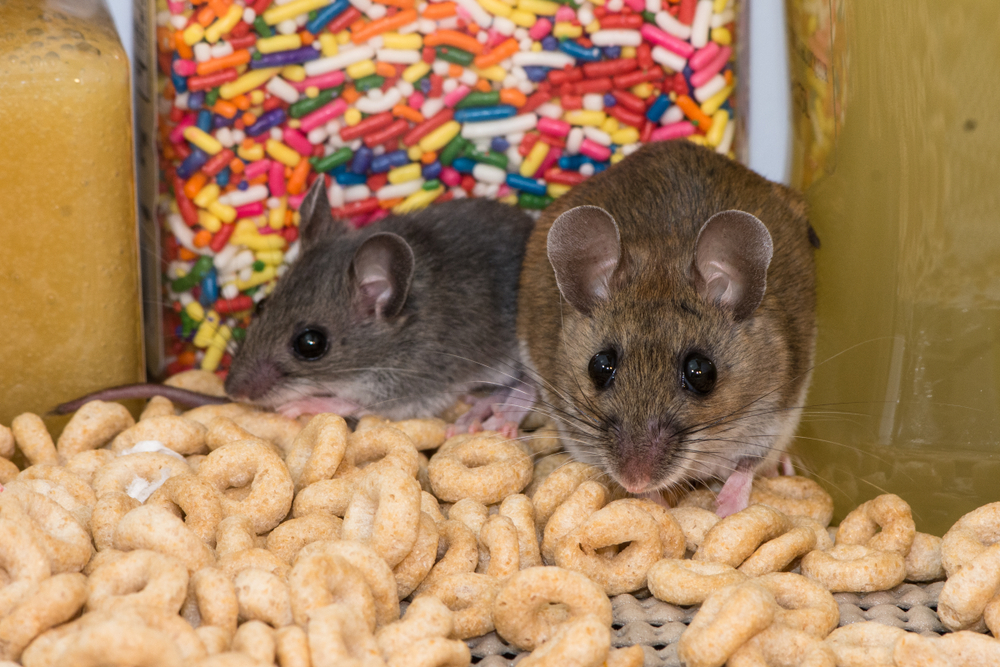 Food Storage Tips to Keep Rodents Out