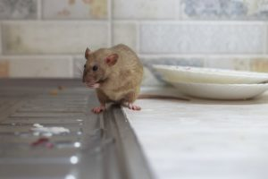 How Do Rats Travel Between Apartments?