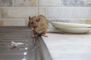 How Do Rats Travel Between Apartments?