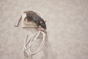 How to Protect Your Wiring from Rats