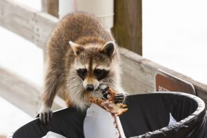 How to Remove Raccoons from Your Leesburg Property