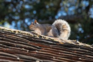 Reasons for Commercial Squirrel Removal
